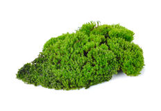 Green moss. Isolated on white bakground Stock Image