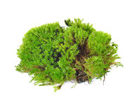 Green moss. Isolated on white bakground Royalty Free Stock Photo