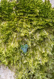 Green moss and ivy leaf Stock Photography