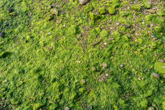 Green moss and lichen on grunge stone shore coast as background Royalty Free Stock Photos