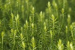 Green moss macro Royalty Free Stock Photos