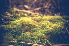 Green Moss Macro Filtered. Green common moss in the forest, vintage close up background Stock Photography