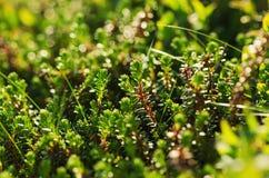 Green moss macro Stock Photography
