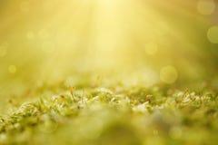 Green moss macro Royalty Free Stock Image