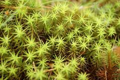 Green Moss Macro (Polytrichum commune). A close up of Green Common Haircap Moss (Polytrichum commune) in forest after heavy rainfall. Can be used as background Stock Photos