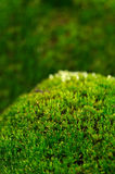 Green Moss Macro Royalty Free Stock Photography