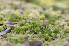 Green moss with a macro view Royalty Free Stock Photos