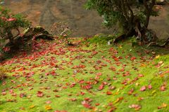 Rainforest green moss with maple leaf in japan autumn forest. Green moss with maple leaf drop rainforest ground in autumn season stock image