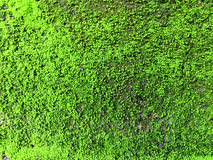 Green. Moss on the old cement wall for background Royalty Free Stock Images