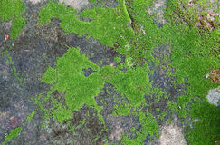 Green moss on the old concrete floor. Beautiful Green moss on the old concrete floor Royalty Free Stock Photo