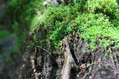 Green moss on an old dead tree in the forest Royalty Free Stock Photography