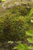 Green moss on the old stone Royalty Free Stock Image