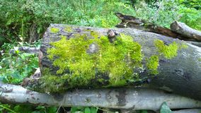 Green moss on an old tree in the forest Stock Photography