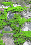 Green moss. On old wall, Moss on the wall,Closeup of Moss on the wall Royalty Free Stock Photos