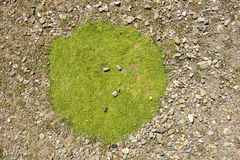 Green Moss Patch Royalty Free Stock Photo