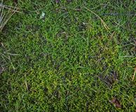 Dark green moss and scattered pine needles. Green moss and pine needles scattered on forest floor or detritus Royalty Free Stock Photo