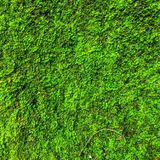 Green Moss Plant Background. Green Moss Plant In The Tropical Forest. Nature Background Stock Image
