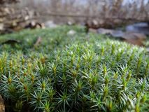 Green moss with plants in a spring forest Stock Photo