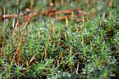 Green moss (Polytrichum commune). Green moss polytrichum commune in a autumn forest. Shallow depth of field Royalty Free Stock Photos
