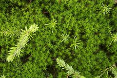 Green moss Royalty Free Stock Photos