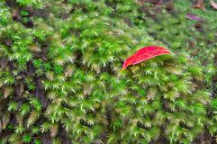 Green moss. Red  leaf on green moss Royalty Free Stock Photo