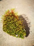 Green moss with red stem Royalty Free Stock Photography