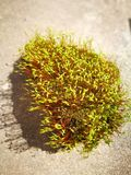 Green moss with red stem Stock Images
