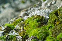Green moss on rock close up. Close-up of moos with buds on a rock and depth of field Royalty Free Stock Photography