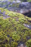 Green moss on rock surface in a jungle royalty free stock image