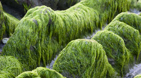 Green moss on rocks Royalty Free Stock Photo