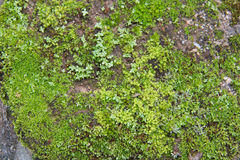 Green moss on rocks. Detail of rock in waterfall Royalty Free Stock Image