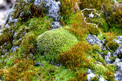 Green moss. On the rocks in the woods Royalty Free Stock Photos