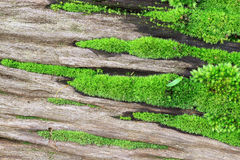 Green moss with roots from trees Stock Images