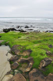 Green Moss San Diego La Jolla Rocky Coast Royalty Free Stock Photo