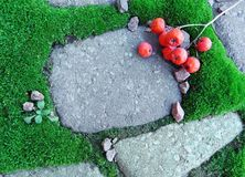 Green moss on the sidewalk. Rowan berries Stock Images