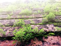 Green Moss and small trees grow up on Old red brick wall royalty free stock image