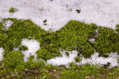 Green moss in snow in winter. Royalty Free Stock Photo