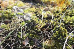 Green moss. spring day. moss in the sun. grass royalty free stock photo