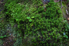 Green moss spruce trunk root shamrock Royalty Free Stock Image