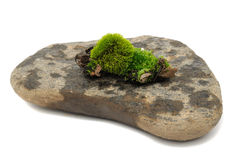 Green Moss on Stone. Green moss on a wet stone isolated on a white background Stock Photography