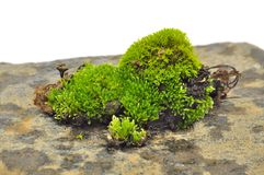 Green Moss on Stone Close-Up Royalty Free Stock Photography