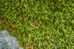 Green moss on the stone Stock Images