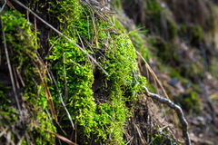 Green moss on stone in the forest Royalty Free Stock Image