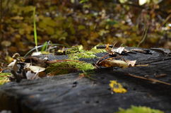 Green moss on the stump in the forest. Green moss on the stump Royalty Free Stock Photography