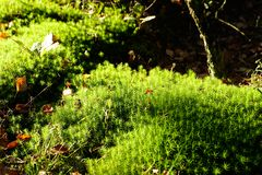 Green moss in sun in forest Royalty Free Stock Image