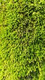 Green moss Royalty Free Stock Images
