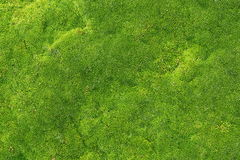 Green moss for texture, background Stock Image