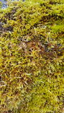 Green Moss texture background Royalty Free Stock Photos