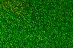 Artificial green moss wall for garden decor. Moss Background Texture royalty free stock image
