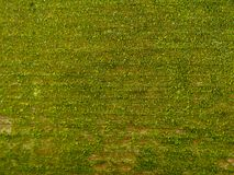 Green moss texture background royalty free stock image